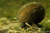 Gill snails