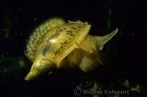Lung Snails