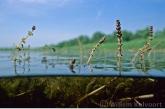 Aarvederkruid bloeiend ( Myriophyllum spicatum ).