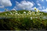 Fijne waterranonkel ( Ranunculus aquatilis ), Amerdiep