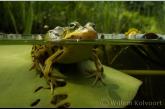 Edible frog ( Rana esculenta )
