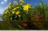 Dotterbloem ( Caltha palustris ) met kwelstroom, Amerdiep