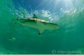 Blacktip reef-sharks ( Carcharhinus melanoterus )