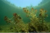 Aarvederkruid ( Myriophyllum spicatum ).