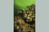 Landscape withe small snakelocks anemone ( Sagartiogeton undatus )