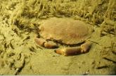 Edible crab between sand mason