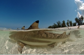 Blacktip reef-sharks ( Carcharhinus melanoterus ) near the beach