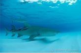 Lemon-shark (  Negaprion brevirostris ) with remoras