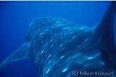 A Ride on a whale shark