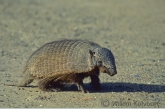 Hairy Armadillo ( Chaetophractus villosus )