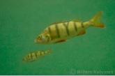 Perch ( Perca fluviatilis )