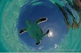 Young green sea turle ( Chelonia mydas )