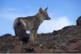 Patagonian Gray Fox ( Dusicyon griseus )