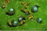 Snails and chrysalis of caddisflies on sponge