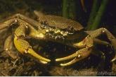 Fresh-water crab