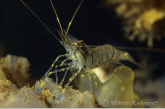 European rock shrimp ( Palaemon elegans )