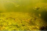 Visjes ( Jupiaba meunierie ) tussen de rotsen