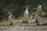 Magellanic Penguin ( Spheniscus magellanicus )