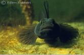 Black gobie ( Gobius niger ) with eggs