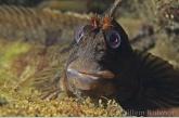 Gehoornde slijmvis ( Parablennius gattorugine )