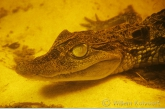 Spectacled caiman ( Caiman crocodilus )