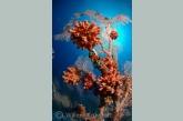 Tubastria coral on gorgonia