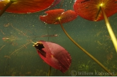 Pond Snail ( Lymnaea stagnalis )