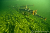 The Atlantic salmon in Canada