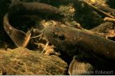 Bermpjes (Barbatula barbatula ) onder de stuw, Amerdiep