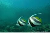 Longfin bannerfish ( Heniochus acuminatus )