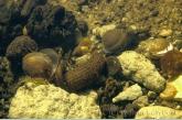 Leech ( Erpobdella octoculata )