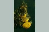 Pea mussel ( Pisidium amnicum )