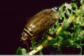 Gegroefde waterroofkever ( Acilius sulcatus ).