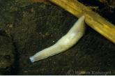 White Flatworm ( Dendrocoelum lacteum )