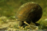 River snail ( Viviparus contectus )
