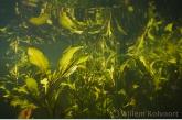 Shining Pondweed ( Potamogeton lucens )