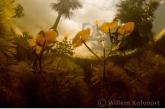 Bloeiende cabomba aquatica in de Cola Kreek