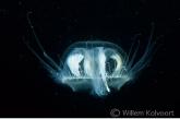 Freshwater jellyfish ( Craspedacusta sowerbyi )